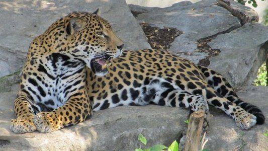 Visualisatie met een jaguar, op naar het nieuwe